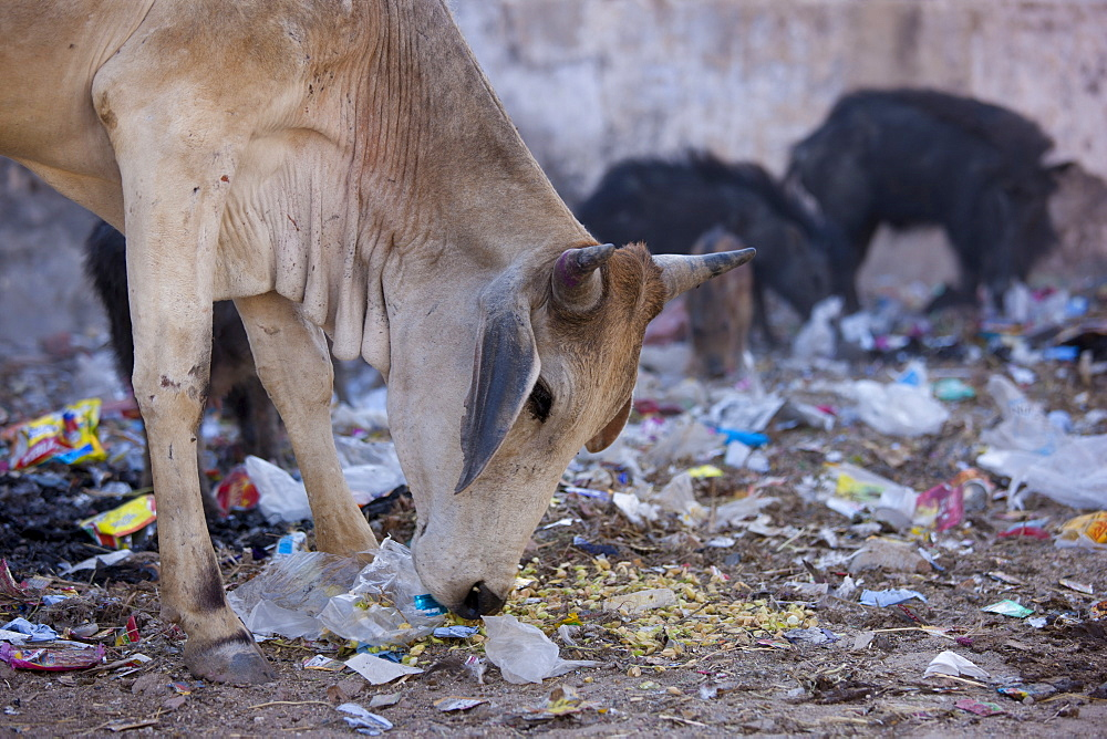 Cow eating plastic bag rubbish in Narlai village in Rajasthan, Northern India