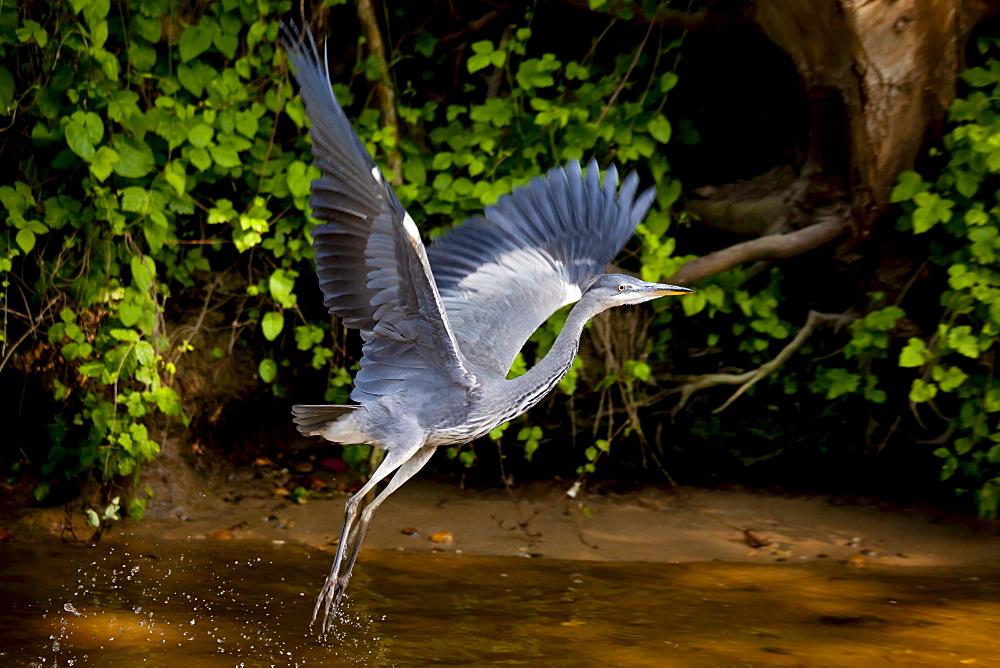 Grey Heron bird, Ardea cinerea, taking flight from the River Thames in Berkshire, UK - 1161-5342