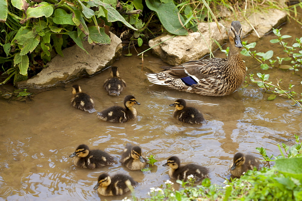Female Mallard duck, Anas platyrhynchos, with young ducklings in a stream in The Cotswolds, UK