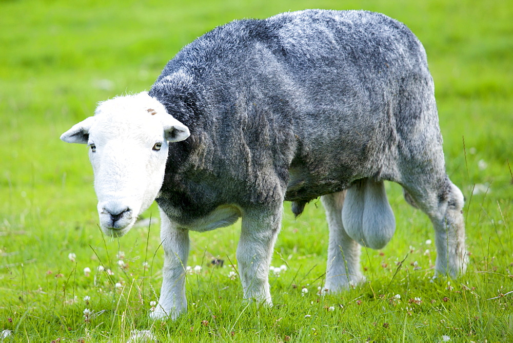 Traditional Herdwick sheep ram at Wastwater in the Lake District National Park, Cumbria, UK