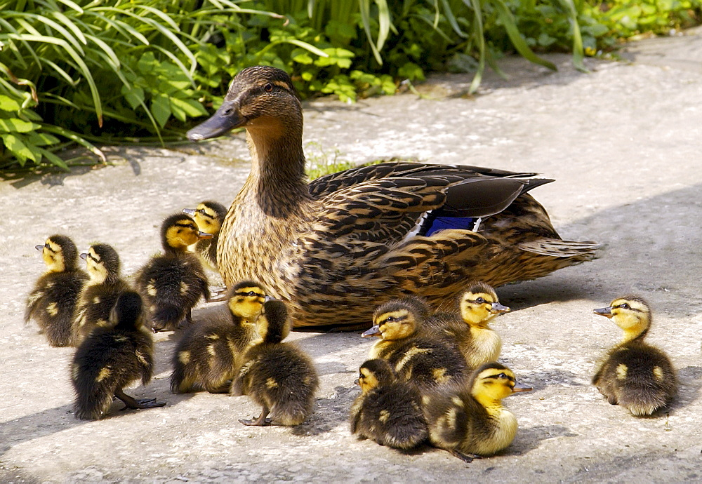 Mallard duck with her twelve ducklings, Oxfordshire, England