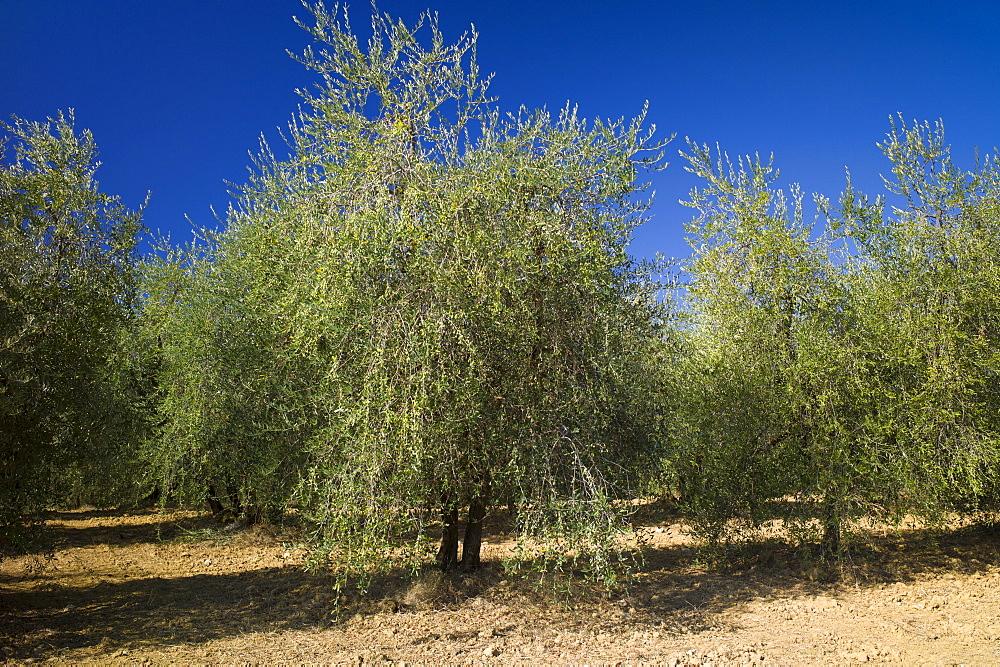 Olive trees at Pontignanello in Chianti, Tuscany, Italy