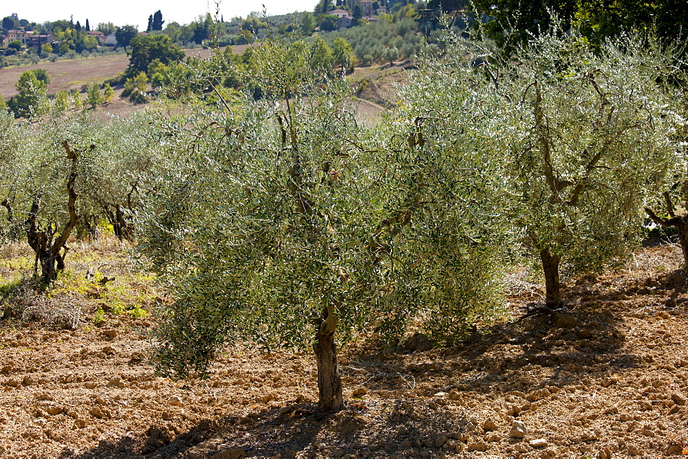 Olive grove in Tuscany, Italy