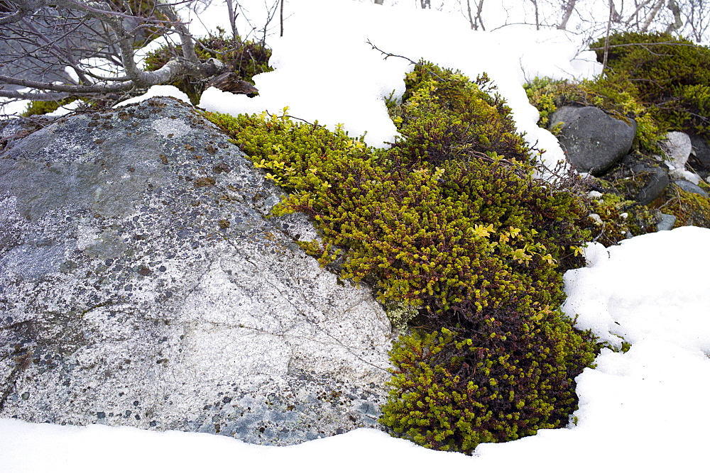 Lichen in the Arctic Circle on Ringvassoya Island in the region of Tromso, Northern Norway