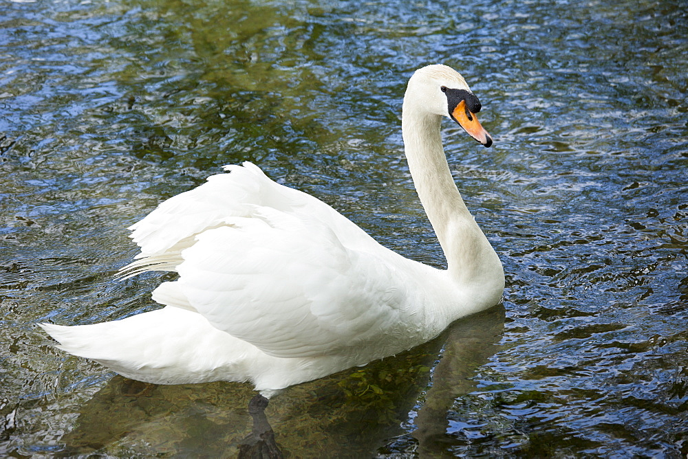Male mute swan, Cygnus olor, known as a cob, in Southrop in the Cotswolds, Gloucestershire, UK