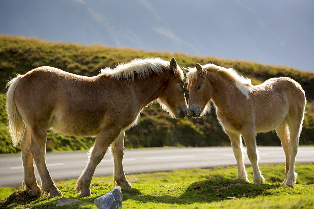 Mare and foal horses in Vallee d'Ossau near Laruns in Parc National des Pyrenees Occident, France