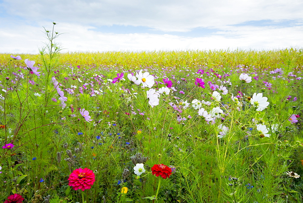 Wildflower border by maize crop in a field in rural Normandy, France