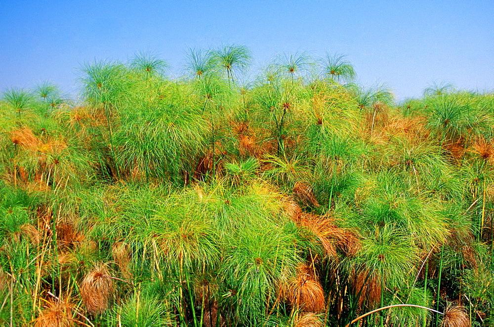 Papyrus growing in the Okavango Delta in Botswana, Africa