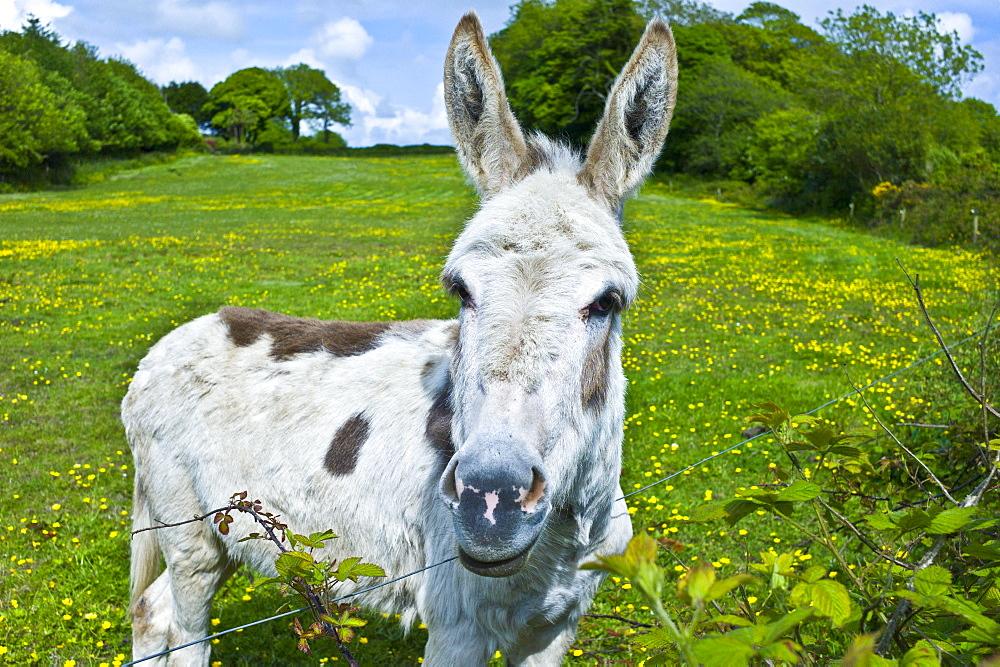 Traditional Irish donkey in County Cork, Ireland - 1161-6581