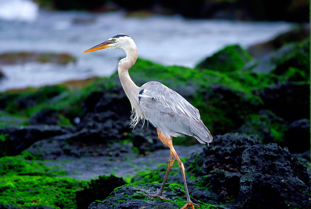 Great Blue Heron on Santa Cruz,  Galapagos Islands, Ecuador