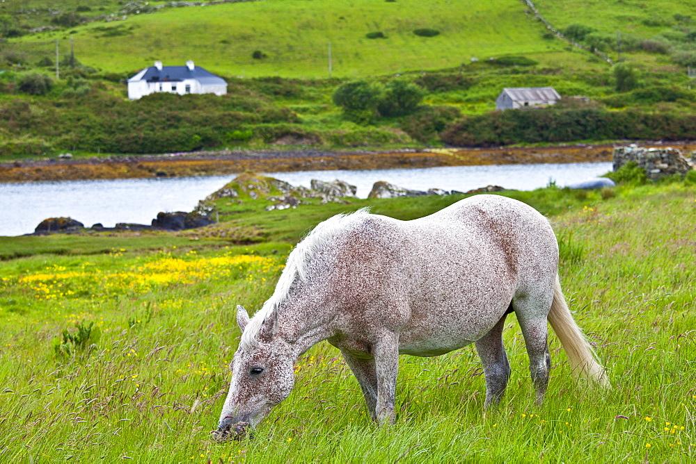 Connemara pony grazing near Cleggan, Connemara, County Galway, West Coast of Ireland
