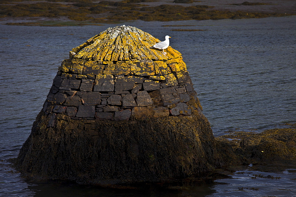 Seagull on vantage point in Clifden bay, Connemara, County Galway, Ireland