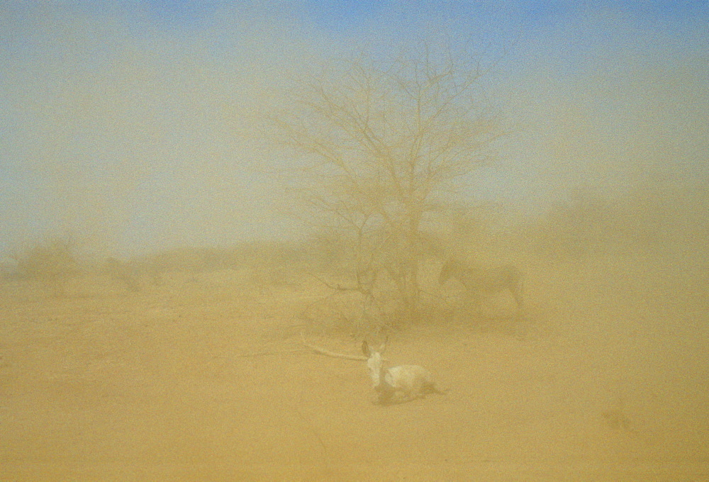 Drought scene as a sandstorm engulfs donkeys trying to shelter by a tree, Burkina Faso (formerly Upper Volta)