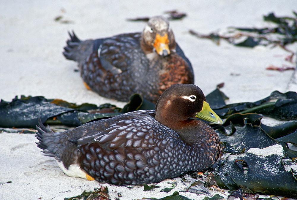 Pair of Steamer ducks, Sea Lion Island, Falkland Islands