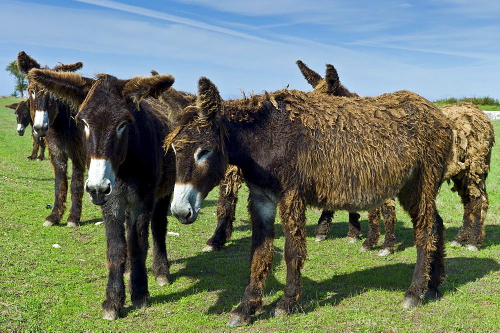 Donkeys shedding their winter coats in pasture at St Martin de Re, Ile de Re, France