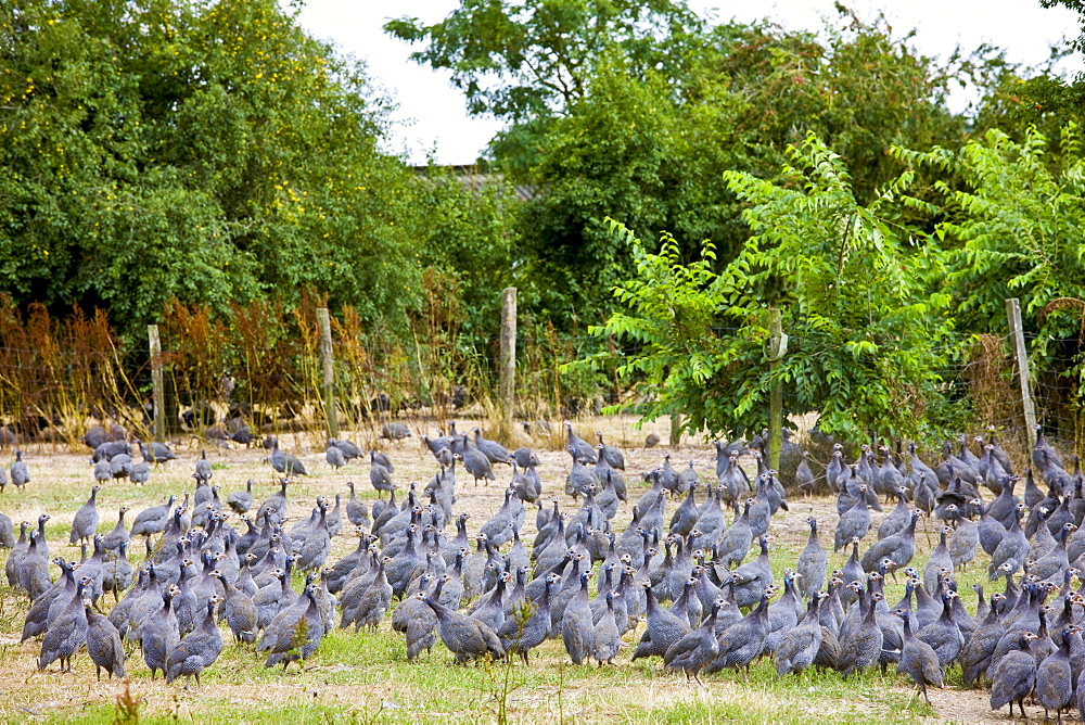 Free range guinea fowl at Precigne Commune in France
