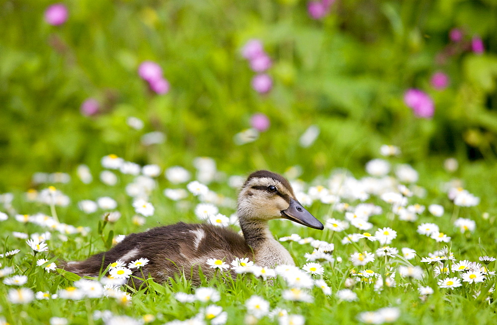 Mallard duckling among daisies in meadow in The Cotswolds, Oxfordshire, England, United Kingdom