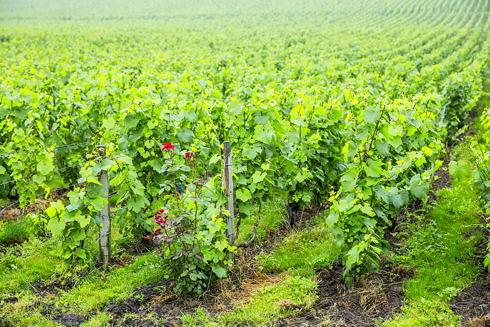 Chardonnay grapevines at Champagne Taittinger vineyard near Epernay in Champagne-Ardenne, France, Europe