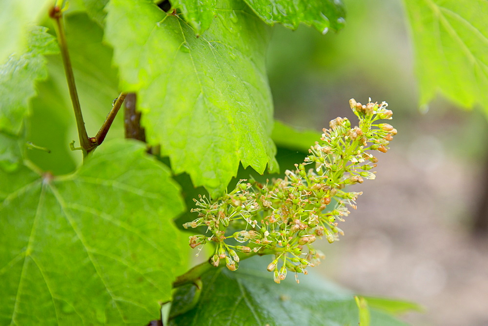Chardonnay grapes forming in mid-July at Champagne Taittinger near Epernay, Champagne-Ardenne, France, Europe