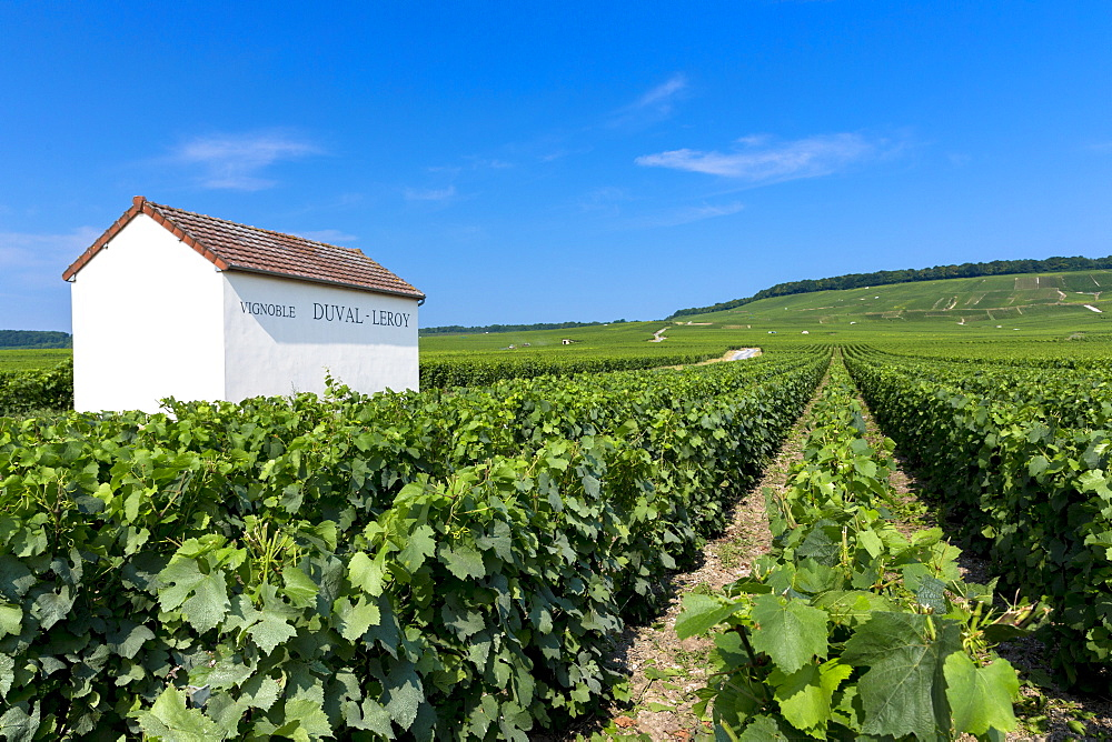 Trimmed vines of vineyard of Vignoble Duval-Leroy on the Champagne Tourist Route at Vertus, in Marne, Champagne-Ardenne, France, Europe