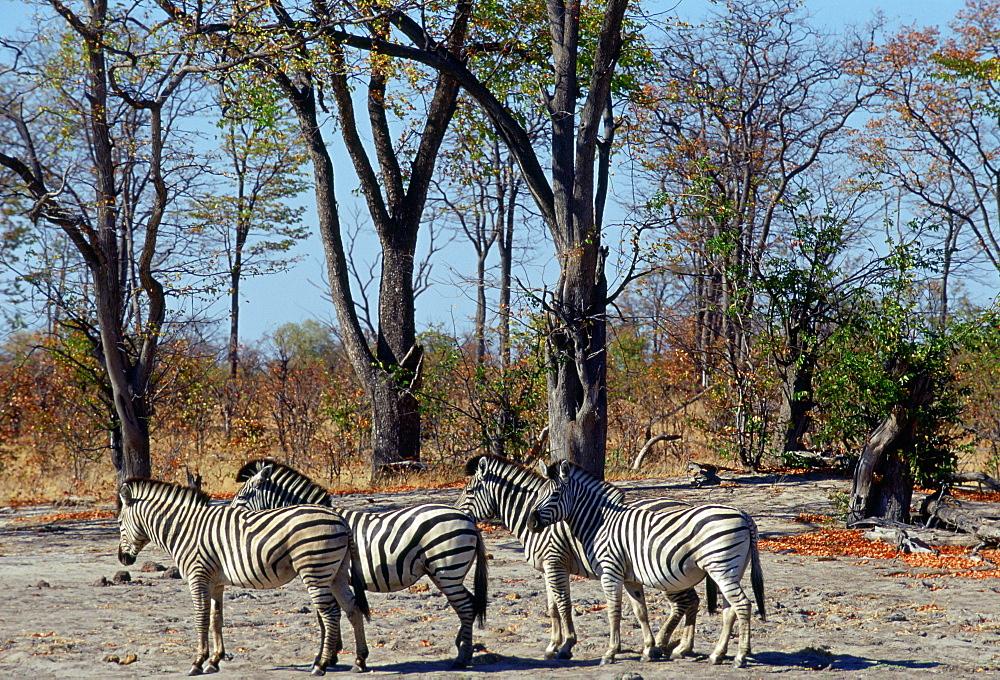 Herd of Burchell's Zebra  in Moremi National Park , Botswana