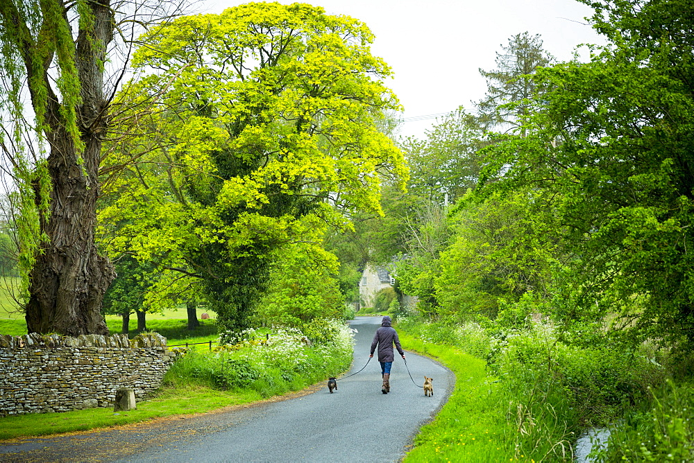 Woman out for a stroll with a pair of terrier dogs along a country lane on a rainy day at Swinbrook, The Cotswolds, Oxfordshire, England, United Kingdom, Europe