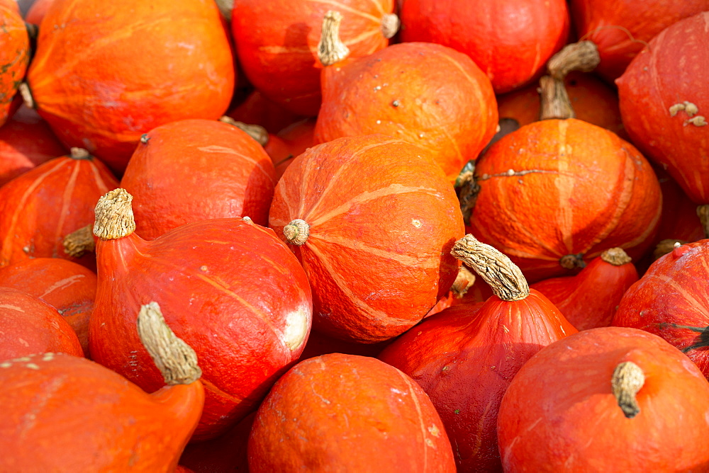 Locally-grown freshly-picked pumpkins displayed for sale in Pays de La Loire, France, Europe