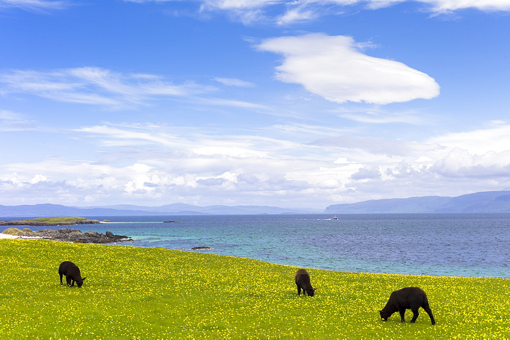 Flock of dark brown Soay sheep grazing in buttercup meadow on Isle of Iona, Inner Hebrides and Western Isles, Scotland, United Kingdom, Europe