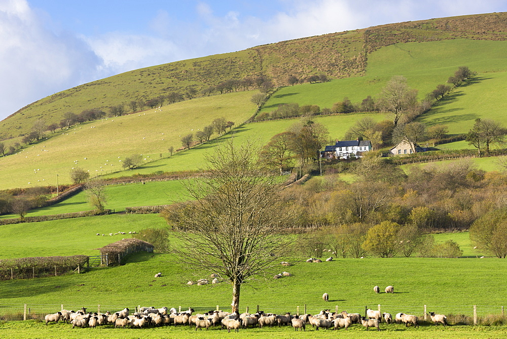 Sheep and a hill farm in a picturesque valley in the Brecon Beacons mountain range, Powys, Wales, United Kingdom, Europe