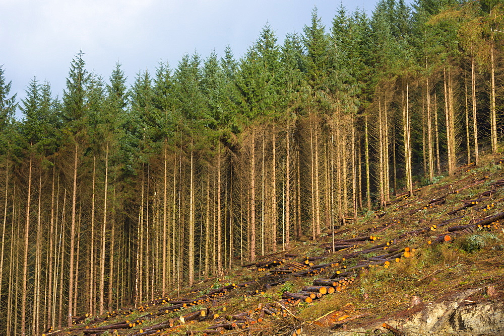 European larch trees (Larix decidua) in coniferous forest plantation for logging timber production in Brecon Beacons, Powys, Wales, United Kingdom, Europe
