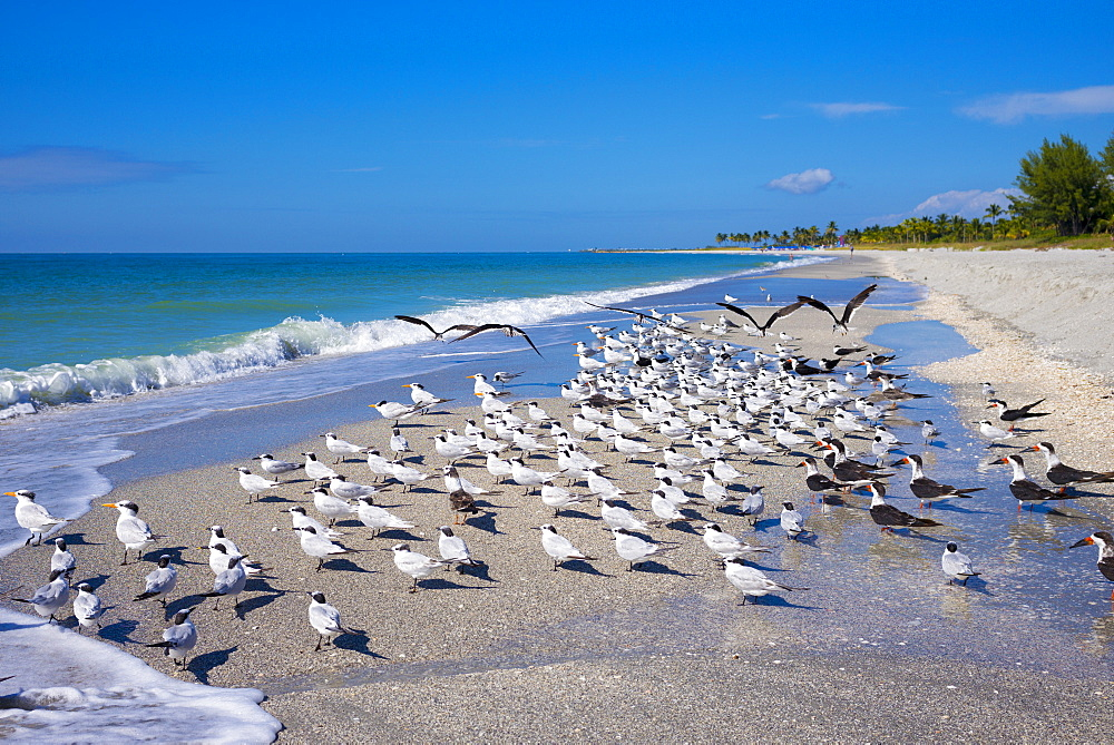 Royal Terns, Thalasseus maximus, flocking on beach at Captiva Island, Florida, USA - 1161-8700