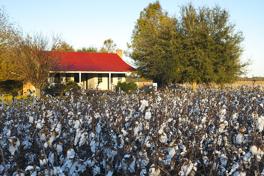 Cotton crop, Gossypium hirsutum, growing in plantation at Frogmore Farm in the Deep South, Ferriday, Louisiana, USA - 1161-8747