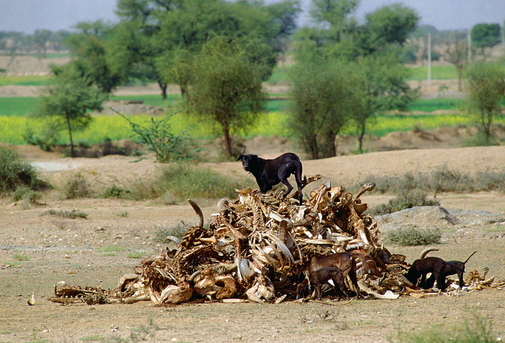 A hungry black mongrel dog scavenging among a pile of old bones at Nalu, Rajasthan, India.