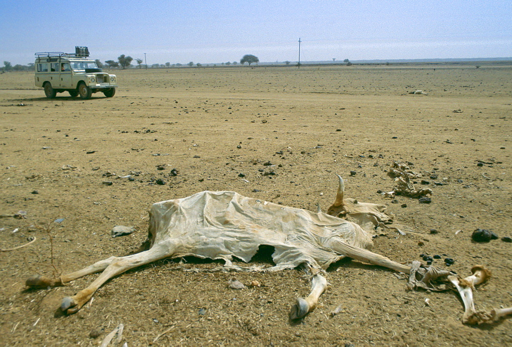 Drought in Burkina Faso (formerly Upper Volta).  A white Land Rover 4-wheel drive vehicle drives past a dried out carcass.