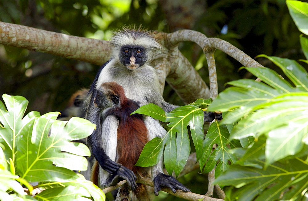 Zanzibar Red Colobus monkey, one of Africa's rarest primates