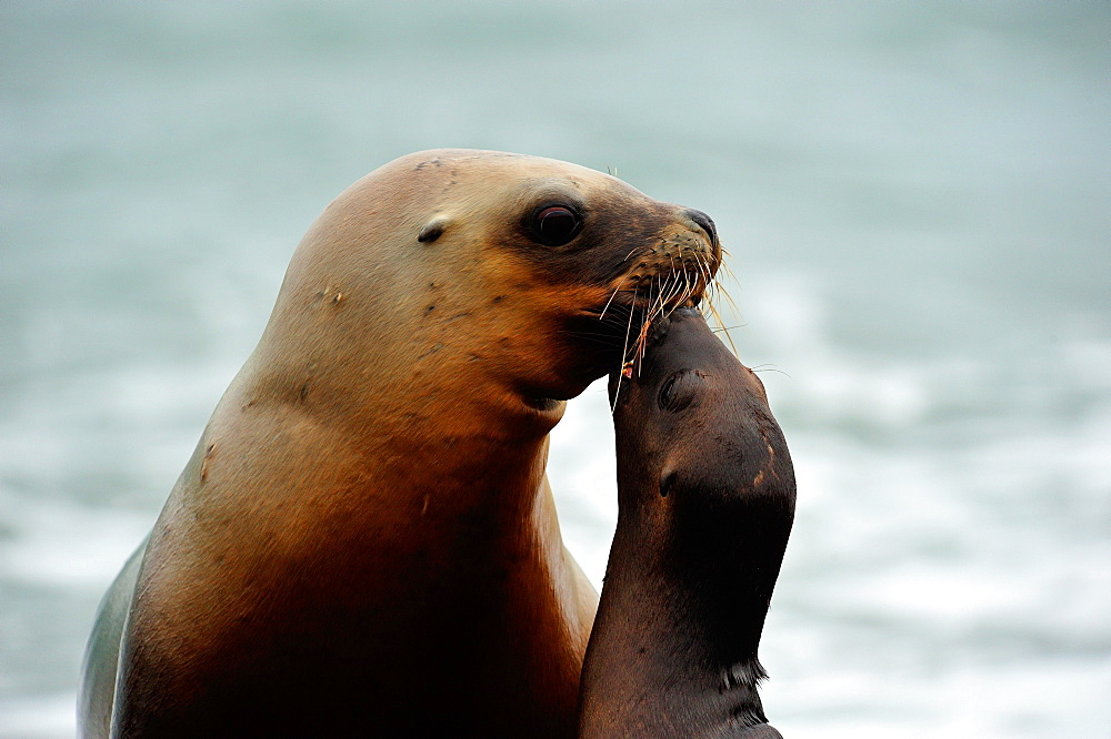 South American sea lion (Otaria flavescens) female with its pup, Peninsula Valdes, Patagonia, Argentina, South America