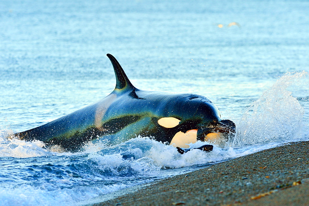 Orca (Orcinus orca) hunting South American sea lion (Otaria flavescens) at Peninsula Valdes, Patagonia, Argentina, South America