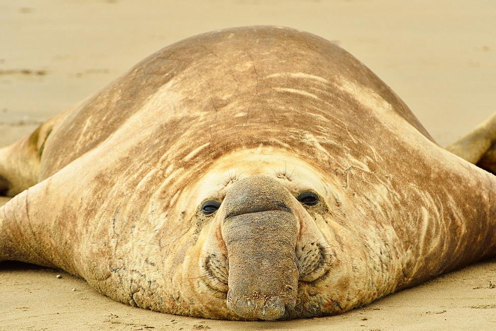 Southern elephant seal (Mirounga leonina) adult male, Peninsula Valdes, Patagonia, Argentina, South America