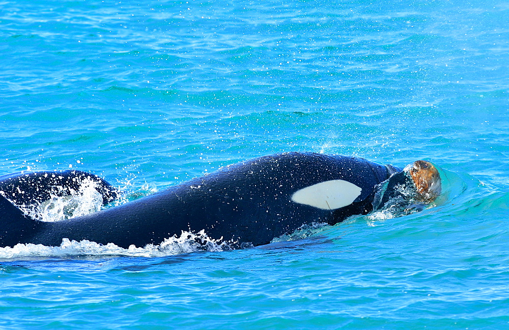 Orca (Orcinus orca) (killer whale) attacking South American sea lion (Otaria flavescens), Patagonia, Argentina, South America