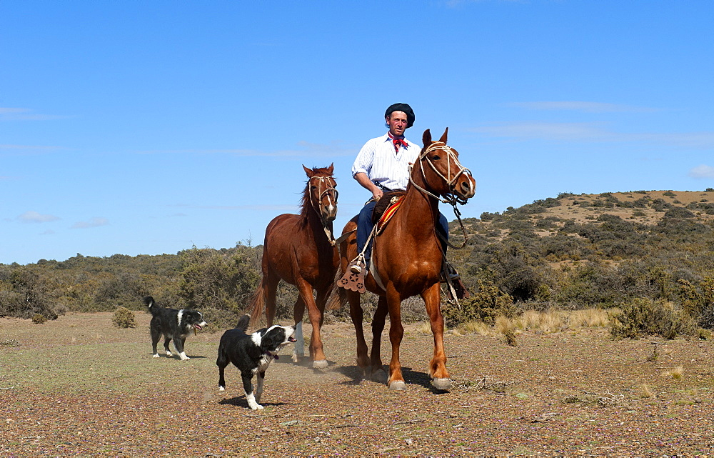 Gaucho riding his horse accompanied by dogs, Peninsula Valdes, Patagonia, Argentina, South America