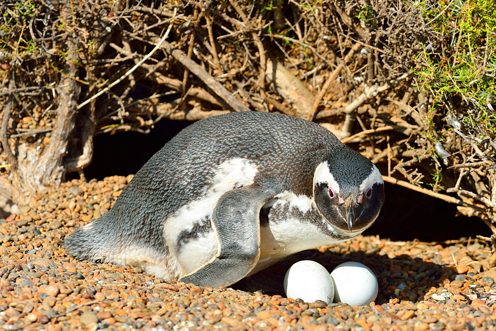 Magellanic penguin (Magellanic Spheniscus), Peninsula Valdes, Patagonia, Argentina, South America