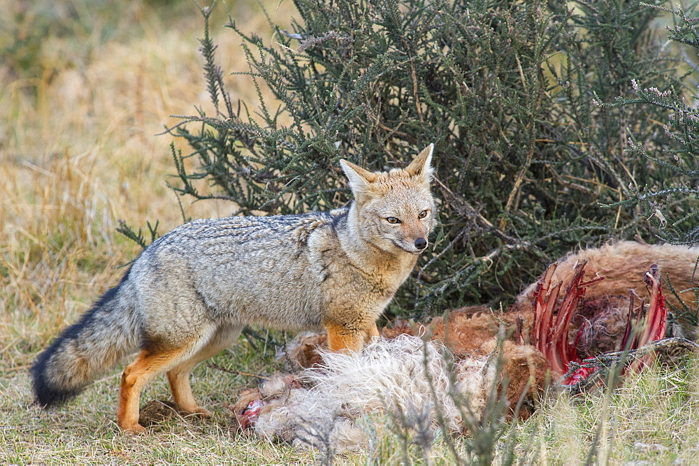 Grey fox (Lycalopex gymnocercus), Patagonia, Chile, South America - 1162-207