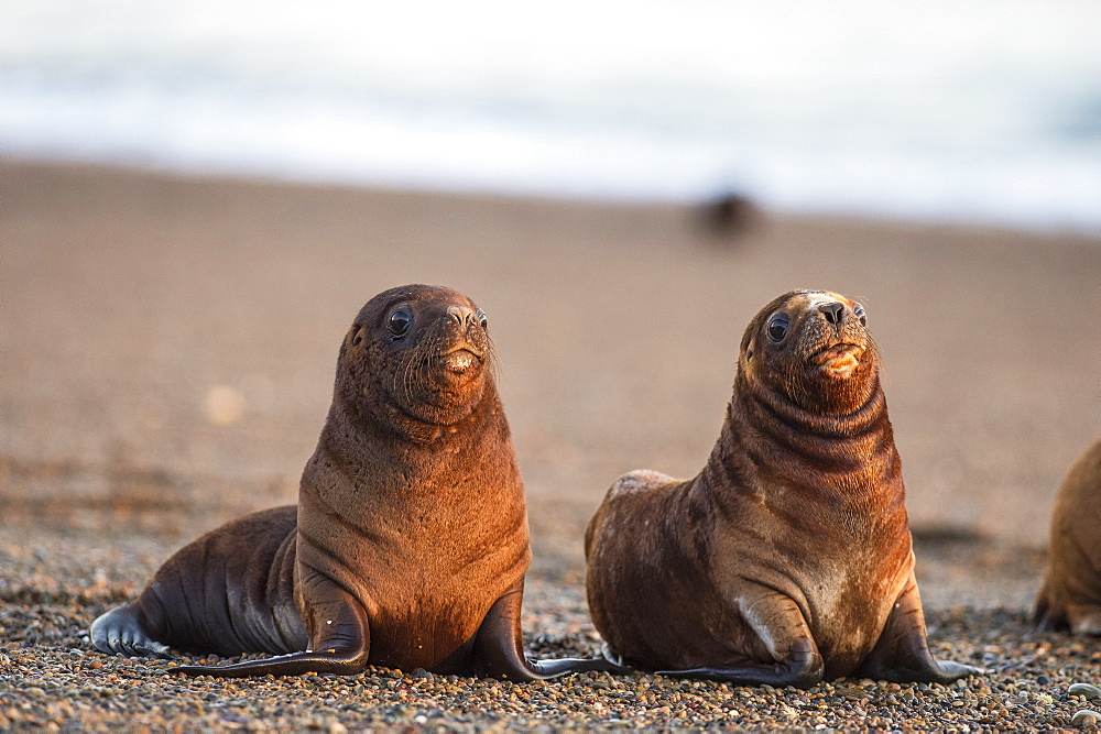 South American sea lion (Otaria flavescens) pups, Patagonia, Argentina, South America