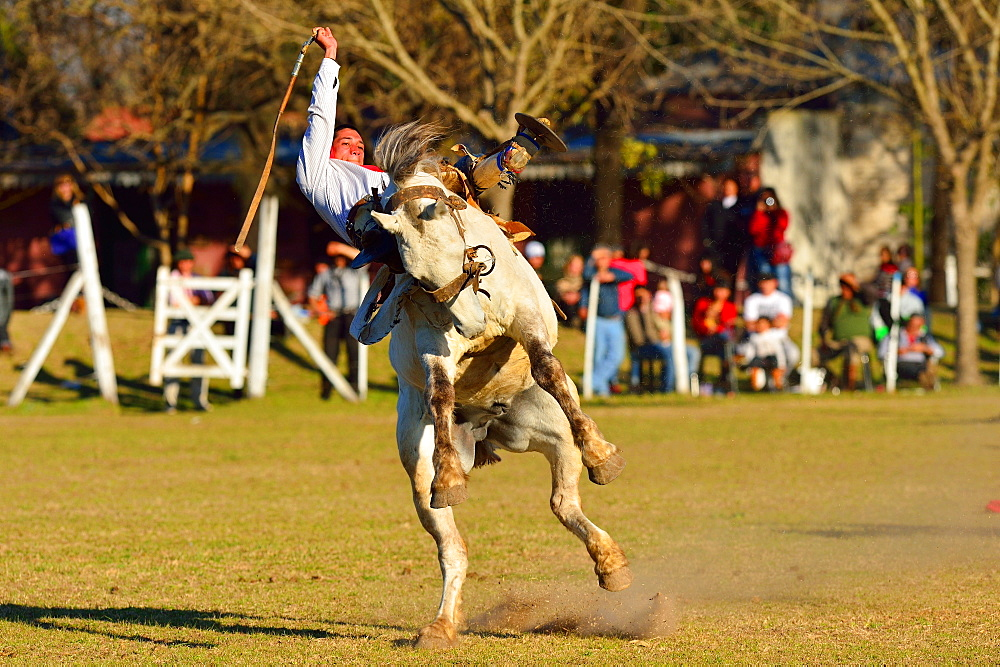 Gaucho riding a wild horse at a Rodeo, Buenos Aires province, Argentina, South America
