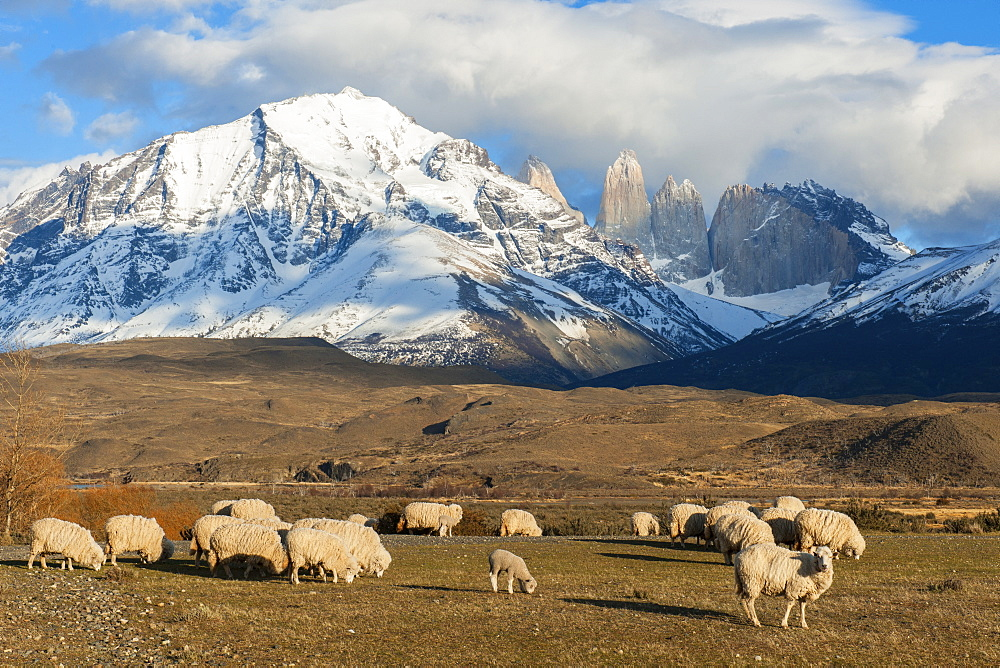 Sheep, Torres del Paine National Park, Patagonia, Chile, South America
