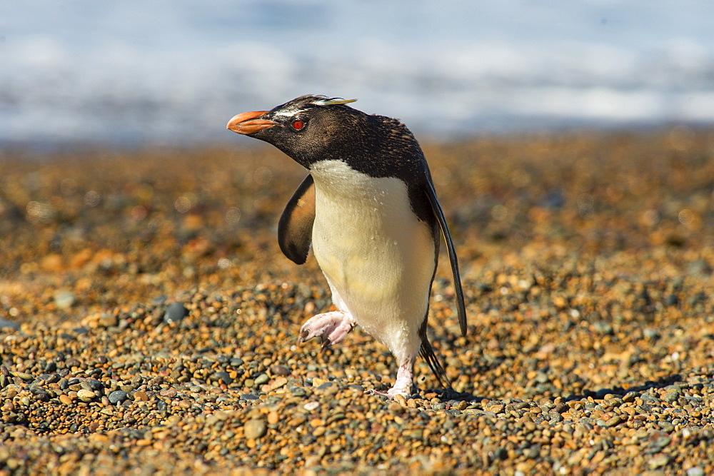 Rockhopper penguin (Eudyptes crestatus), Patagonia, Argentina, South America - 1162-220
