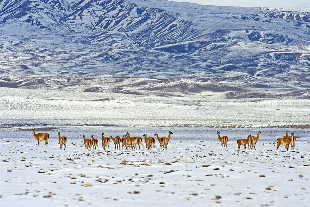 Guanaco (Lama guanicoide), Patagonia, Argentina, South America - 1162-221