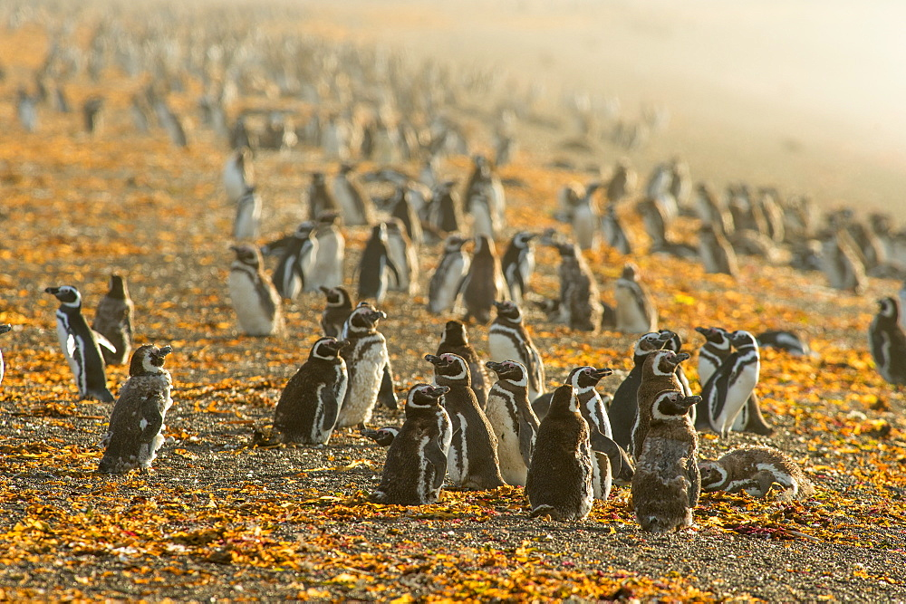 Magellanic penguins (Spheniscus magellanicus), Patagonia, Argentina, South America
