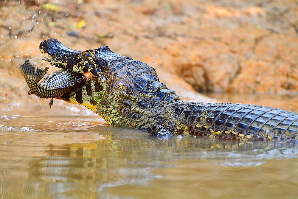 Cayman, Pantanal, Mato Grosso, Brazil, South America