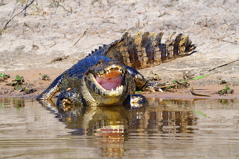 Cayman, Pantanal, Mato Grosso, Brazil, South America - 1162-235